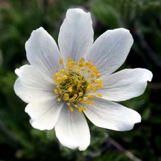 "This site has an entire index of the flowers that grow on Mt. Rainier.  Just click on ""return to Index"" on the picture, and then click on ""return to home"" twice.  Voila!"