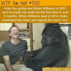 Koko the gorilla.