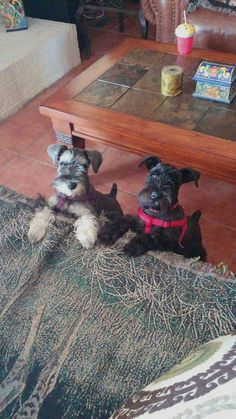 Ranked as one of the most popular dog breeds in the world, the Miniature Schnauzer is a cute little square faced furry coat. Schnauzer Breed, Miniature Schnauzer Puppies, Mini Schnauzer, Schnauzers, Dog Training Come, Puppy Training Guide, Silly Dogs, Big Dogs, Love Pet