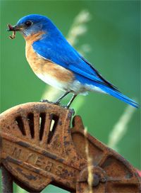 I love bluebirds!  Even though we live in a condo in a suburban area, we have a group of bluebirds around here!