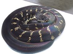 Boelens Python, saw one at the Atlanta Zoo