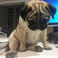 But what do you mean it's only Wednesday? Photo by @uchini_the_pug Want to be featured on our Instagram? Tag your photos with #thepugdiary for your chance to be featured. #pug