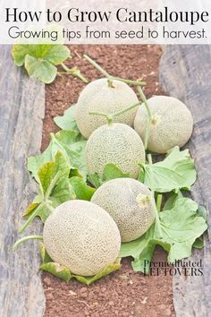 Hydroponic Gardening Ideas How to Grow Cantaloupe - Tips for growing cantaloupe, including how to plant cantaloupe seeds and cantaloupe seedlings, and how to harvest cantaloupe. Veg Garden, Fruit Garden, Edible Garden, Garden Plants, Vegetable Gardening, Veggie Gardens, Flower Gardening, Garden Art, Planting Plants