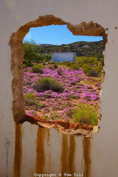 Namaqualand wildflowers, Namaqualand, South Africa a One of the world's largest wildflower blooms Seen through ghost town window African Countries, Countries Of The World, Natural Wonders, Beautiful Places, Beautiful Flowers, Cape Town, Wild Flowers, Places To See, South Africa