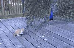 Pestering Pet Peacock