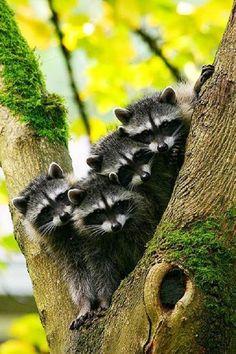 Raccoons by Picturegirl