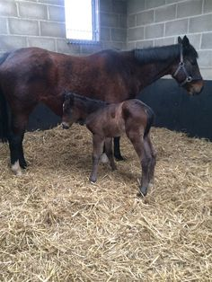 Lolita Lebron and her Bated Breath filly, born at Battlefield Stud in Malton.