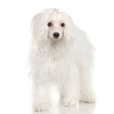 All about the Chinese Crested (Powderpuff) small dog breed. Read about this breeds behavior, appearance, grooming, and a short history.