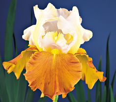 "Iris Fall Fiesta - White Flower Farm Quick Facts Common Name: Tall Bearded Iris Hardiness Zone: 3-7 S / 3-10 W Height: 36"" Deer Resistant: Yes Exposure: Full Sun Blooms In: June Spacing: 18-24"" Ships as: Bareroot Read our Growing Guide"