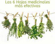 Existe una gran variedad de hojas medicinales, usadas como tratamiento natural para alguna afección, dolor, molestia, poseen de múltiples propiedades...