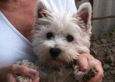 westie~~One of my favorite kind of puppy dogs... aweee so sweet and cute
