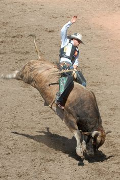 rodeo bull - Google Search