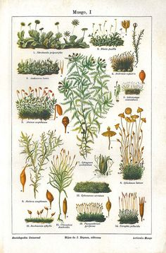 Mosses Botanical  Color Lithograph Print 1923 to Frame by carambas, $16.00