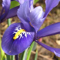 -neuer Gartentraum- Iris reticulata