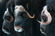 The long-haired musk oxen, with their smile-shaped horns, are a living, breathing remnant of the Pleistocene epoch.  Their coloration is amazing.