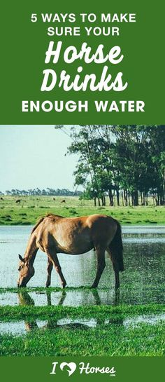 You can lead a horse to water, but you can't make him drink. It's true, but you can definitely encourage your horse to drink. Dehydration can have serious health consequences, and it's up to you as a horse owner to protect your horse's health. If your horse is refusing to drink or not drinking enough, click here to find out how to help. #horses #horsehealth #horsecare #horseowner #horsetips