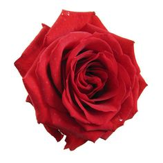 Tumblr- red rose ❤ liked on Polyvore featuring flowers, fillers, red fillers, red and backgrounds