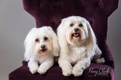 Penny Clark Pet Photography Maltipoo dog portraits. CPP Certified Professional Photographer. Www.pennyclarkphoto.com Maltipoo Dog, Pet Photography, Dog Portraits, Professional Photographer, Jackson, Pets, Animals, Animals And Pets, Animales