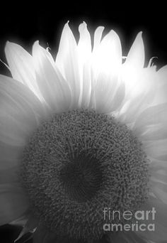 Sunflower Dreams BW Photograph- Chalet Roome-Rigdon