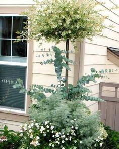 Hakuro-Nishiki' willow ( Salix integra 'Hakuro-Nishiki',  'Powis Castle' Artemisia ( Artemisia 'Powis Castle',  Silver...