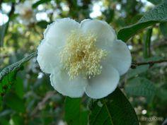 Flora Digital do Rio Grande do Sul e de Santa Catarina: Campomanesia guazumifolia