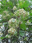 Schrebera Alata      Wing-leaved Wooden Pear/Wild Jasmine       Wildejasmyn/Houtpeer     S A no 612