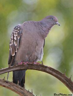Spot-winged Pigeon (Patagioenas maculosa m.)