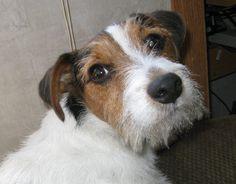 My Jack Russell Terrier Eddie