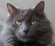 grey long hair cat breeds gray cat. Cortney...Koby