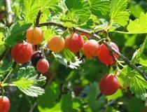 """Karviainen - Ribes uva-crispa, gooseberry """"Lepaan punainen"""""""