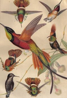 birds, ornithological illustration