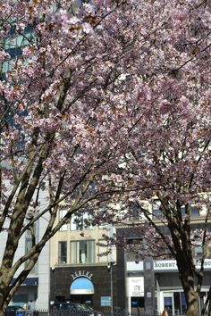 Trees in bloom across from Teatro on the Common
