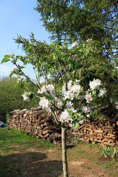 Starting an apple tree from seeds