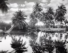 Coconut palms along the Mayagüez lagoons in Puerto Rico, 1924. Photograph by Charles Martin.