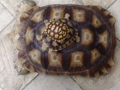 Sulcata tortoises, small, medium and large, grow very fast but are very good with kids and other pets