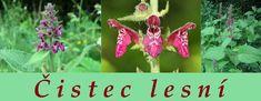 Čistec lesní (latinsky stachys sylvatica) patří do čeledi hluchavkovité. Je vysoký 30-100 cm. Kvete v červnu až září. Je to vytrvalá bylina. Listy vejčitě srdčité, řapíkaté, ostře pilovité, měkce chlupaté, při rozemnutí zatuchle páchnou. Květy dlouhé 12—15 mm, tmavočervené až vínově červené, dolní pysk s markantní bílou kresbou, dvakrát delší než horní pysk. Šeříková vůně, lichopřesleny po 4-10 na vrcholu lodyhy. 4 trojhranné tvrdky, délka 1,5-2 mm, špička zaoblená. Dlouhé,... Herbs, Christmas Ornaments, Holiday Decor, Flowers, Plants, Christmas Jewelry, Herb, Plant, Christmas Decorations