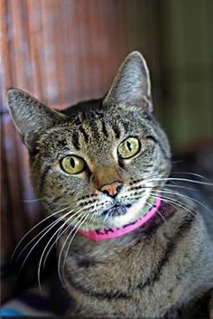 Raylene is 8, a domestic short hair tabby. She was left as a wild cat but in fact is very gentle, friendly and undemanding. She was declawed, so needs to be a primarily indoor cat. She will do best with older kids.