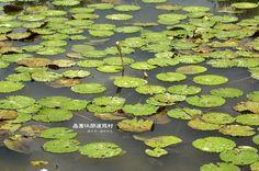 沿著石磚步道繼續前進,可以遇見一座佈滿蓮花的生態池