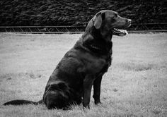 Classic B&W Black Labrador Dog at the Andy Biggar Photography Training Day .. photo by Louise Kathryn