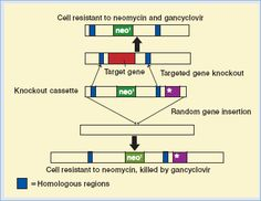 Gene targeting by homologous recombination. The figure illustrates how scientists take advantage of a cellular DNA repair process known as homologous recombination.  The scientist generates recombinant DNA (such as a gene to replace one that is mutated) in vitro, and the therapeutic gene is introduced into a copy of the genomic DNA that is targeted during this process.  Next, recombinant DNA is introduced by transfection into the cell, where it recombines with the homologous part of