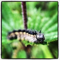 Red admiral caterpillar spotted by Mark Leah at Fulwood Spinney, Peak District.