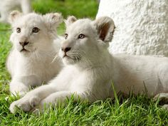 White Lion Cubs of S