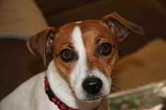 Lucy - Best looking Jack Russel in the WORLD