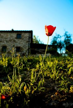 Sprintime poppy in bloom - from @alignbetween Adventures in Tuscany - http://www.alignbetween.com/blog/2012/03/adventures-in-tuscany/