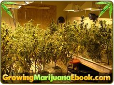 growing marijuana for dummies http://www.growingmarijuanaebook.com/
