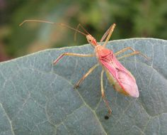 63 best wheel assassin bugs images assassin bugs insects rh pinterest com