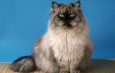 Risultati immagini per Gatto persiano