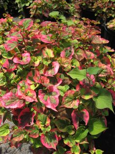 Houttuynia cordata Chameleon plant