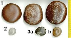 Drift seeds (also sea beans) and drift fruits are seeds and fruits adapted for long distance dispersal by water. Most are produced by tropic...