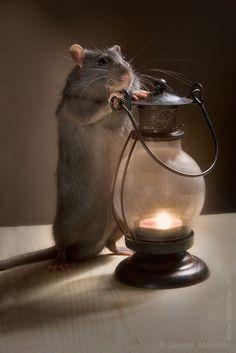 Super cute rat!! They make excellent pets!